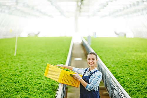 Female grower harvesting lettuce in brightly lit facility